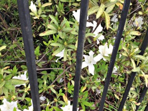 flowers behind fence